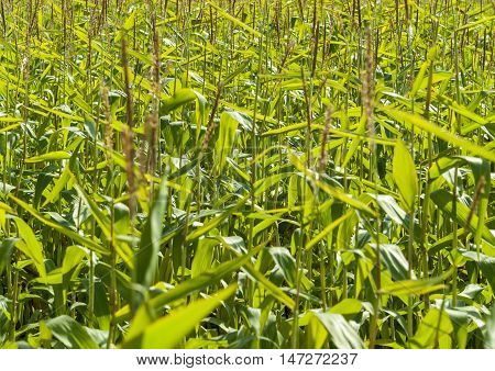 full frame detail of a sunny illuminated cornfield