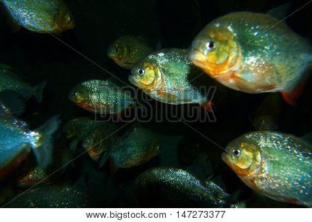 Stock image of Piranha fish in water