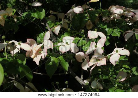 Dog Wood Tree Blossoms still showing beauty in late summer despite showing signs of sun damage