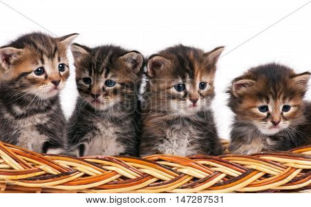 Four cute siberian kittens in a wicker basket over white background
