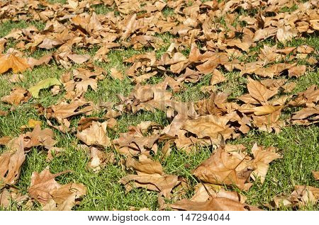 Brown leaves of Plane tree on the grass