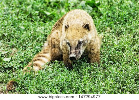 Nasua - Ring-tailed coati - in the green vegetation. Animal scene. Beauty in nature.