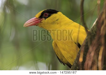 Black-naped Oriole bird