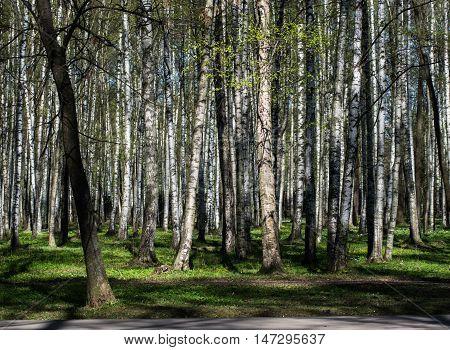 Russian birch specific park in St. Petersburg