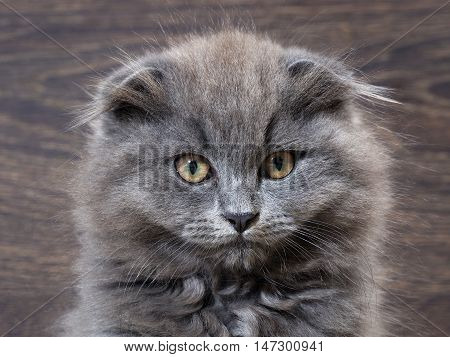 Portrait of a cute big cat with huge eyes. Grey Cat Fluffy Fold. The nose is black. It looks like an owl. Background wooden board
