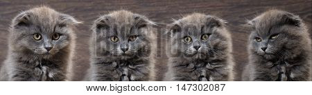 Portrait of cute gray kittens. The cats are gray pedigreed fluffy fold. Background wooden board