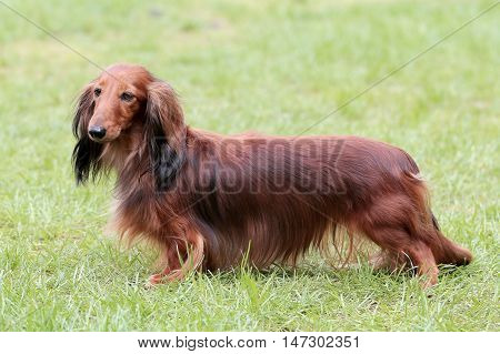 Typical Dachshund Long-haired Standard Red in the summer garden