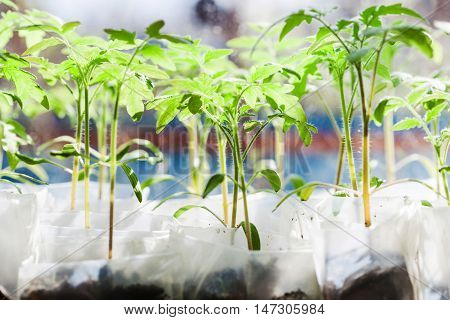 Shoots Of Tomato Plant In Plastic Containers