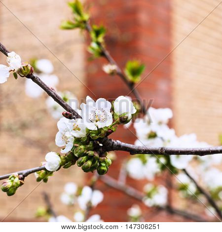 White Flowers Of Black Cherry On Twig In Orchard