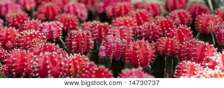 Mexican Fire Barrel Cactus