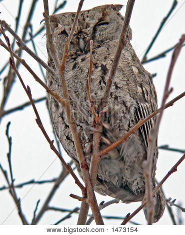 Owl  (Callard Scops Owl) (Otus Bakkamoena) 2