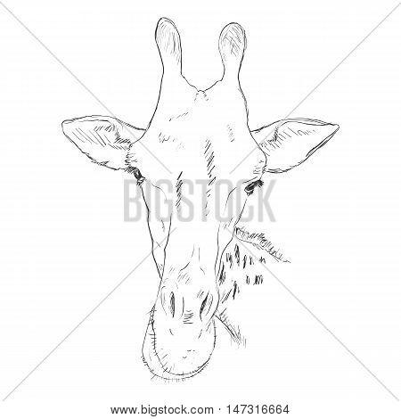 Vector Sketch Giraffe Muzzle