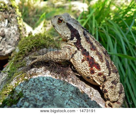 Far-Eastern Toad (Bufo Gargarizans) 6