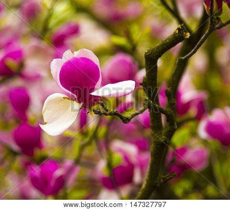 decoration of few magnolia flowers. Magnolia. Magnolia flower. Magnolia flower spring branch clipping path included.