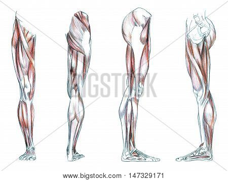 Hand drawn medical illustration drawing with imitation of lithography: Muscles of leg