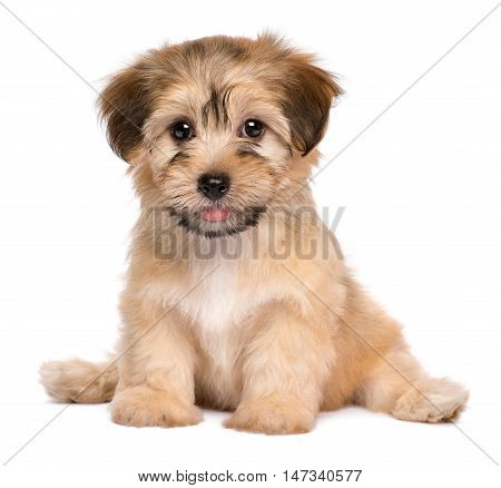 Beautiful havanese puppy dog is sitting frontal and looking at camera isolated on white background
