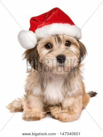 Funny sitting Bichon Havanese puppy dog in a Christmas hat looking at camera - Isolated on a white background