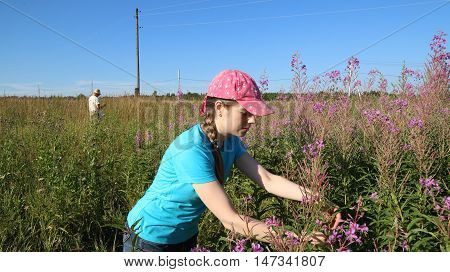 Young woman collects herbal Koporye tea or Blooming Sally herbs on the summer field