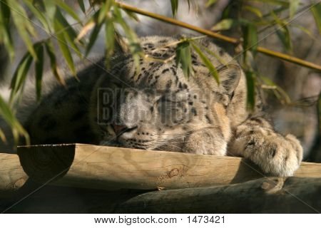 Snow Leopard Sleeping. Big cat asleep in zoo poster