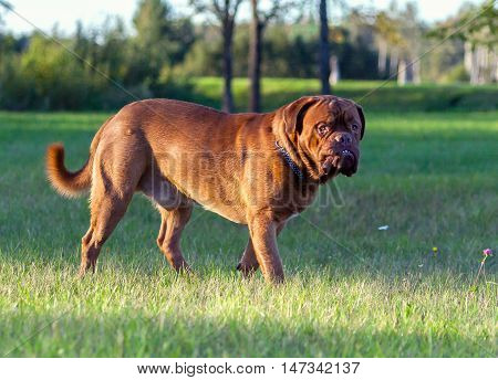 Dogue de Bordeaux or French Mastiff running through the grass in early autumn in September in the park, green grass and trees in the background, in late autumn sunny evening