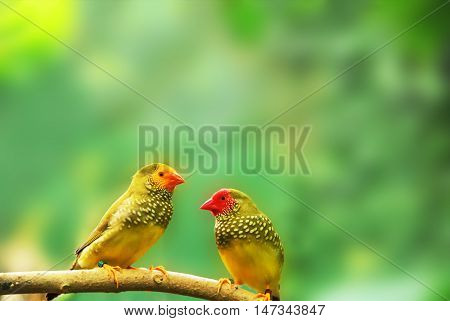 Erythura psittacea birds . Two green birdies sit on a branch.