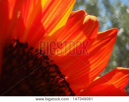 bright orange sunflower close up with sunshine