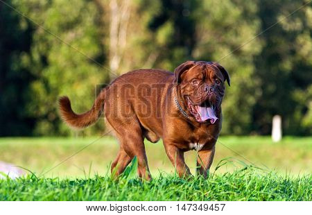 Dogue de Bordeaux or French Mastiff running through the grass in early autumn in September in the park, green grass and trees in the background, open mouth, protruding tongue,