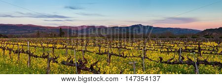 Napa Valley wine country panorama at sunset in winter. Napa California vineyard with mustard and bare vines. Purple mountains at dusk with wispy clouds.