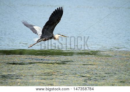 A Blue Heron flying over the lake