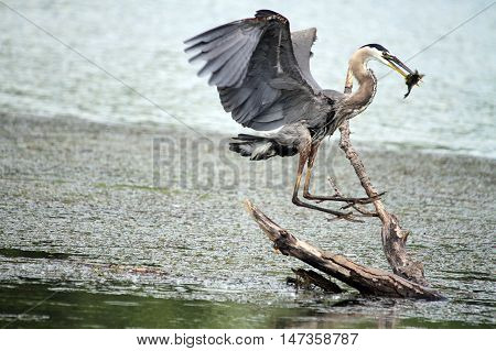 Blue Heron landing after catching a fish