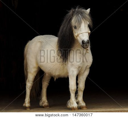 white pony with light tail a and dark mane stands on a black background