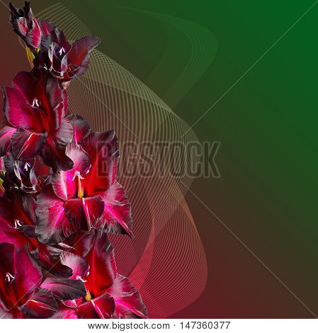 Bouquet of maroon gladiolus with velvety petals on gradient background decorated with striped waves. Beautiful greeting card or floral border with a free place for text