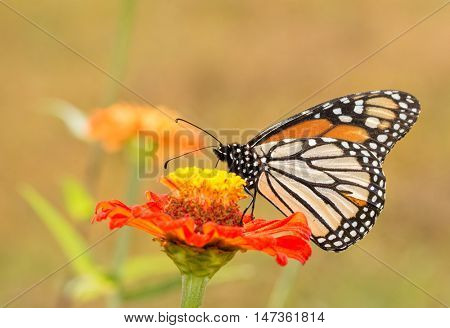 Ventral view of a Danaus plexippus, Monarch butterfly, in summer garden
