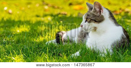 Adult White-tabby Cat Rests In Autumn Garden