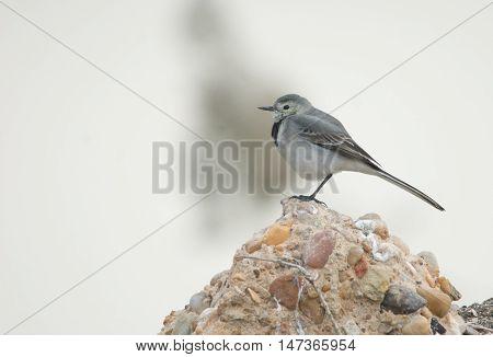 White Wag Tail Bird in wilderness egypt
