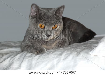 Beautiful gray cat lying on soft. British blue cat on isolated background. Home favorite animal with a lot of mysterious look.