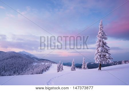 Christmas landscape. Dawn in the mountains. Fir trees in the snow. Carpathians, Ukraine, Europe
