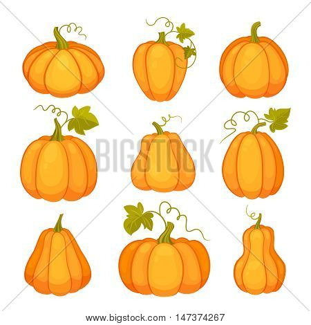 Pumpkins set. Agricultural plant isolated on white background. Orange and yellow pumpkins with leaves and stalks. Cartoon flat style vector illustration