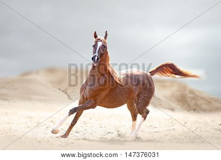 The chestnut arabian horse runs in desert