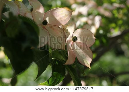 Dogwood Flowers showing beautiful color in late summer despite some sun bleaching