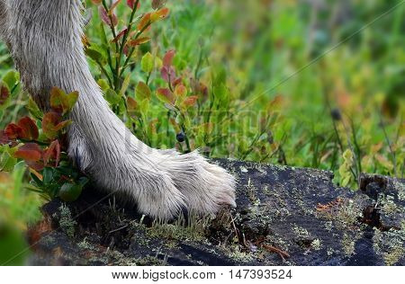 Paw of dog walking in wild wood on old rotten stub among bilberry bushes close up