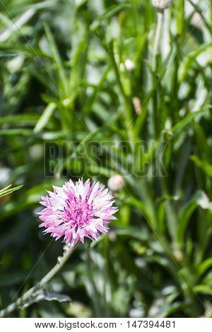 Pink Centaurea cyanus flower , nature beauty