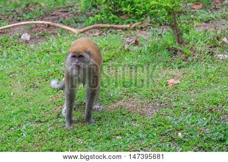monkey portrait nature beautiful in garden  Thailand .