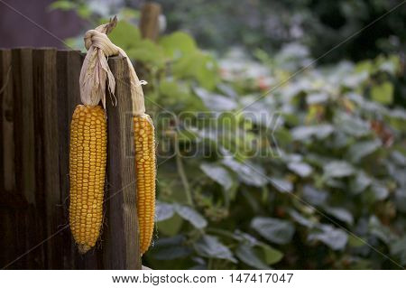 Cobs Of Corn Drying In The Open Air. Connected With Each Other Glumes. Crops Harvested From The Infi