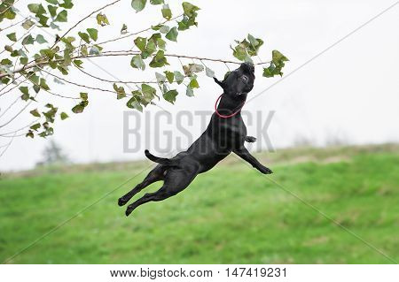 English staffordshire bull terrier running and jump