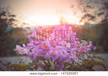 Pink flower of Thailand name is