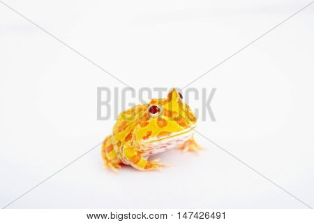 Argentine Horned Frog is most common species of Horned Frog from the grasslands of Argentina Uruguay and Brazil.