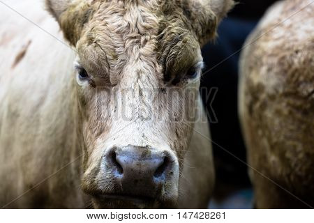 Portratit Of A Cow