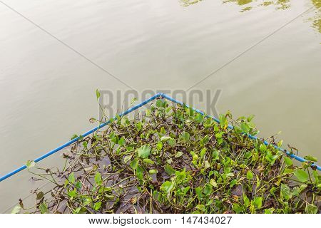 Water Hyacinth surrounding by PVC pipes as it is great idea how to control its expansion growing Thailand
