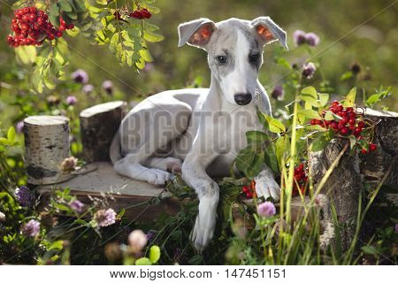 whippet dog on autumn background with rowan berries